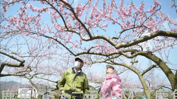 鮮やか、モモ畑がピンクに染まる 鹿角市