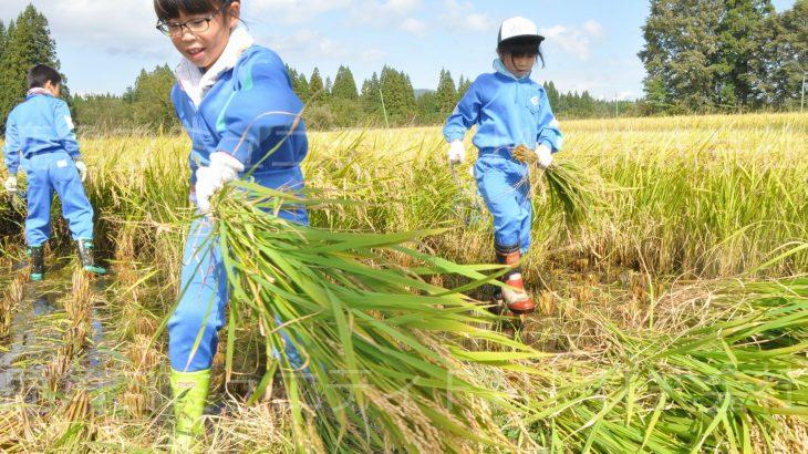 鎌を使って稲刈り 鹿角市の小学校