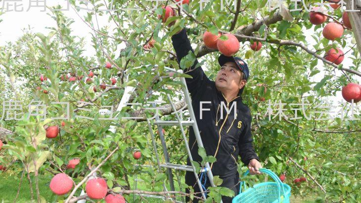 甘いリンゴ「紅あかり」収穫期 鹿角市